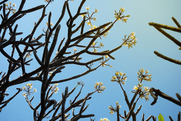 White Plumeria tree with blue sky background