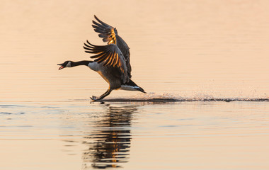 Canada Goose (Branta canadensis) walking on water, squawking and with wings stretched, in the glow of the sun