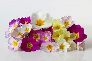 Spring primula, primrose, polyanthus flowers. Bunch of colorful primula flowers.