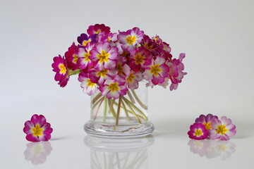 Bouquet of colorful primula flowers in a vase. Spring primula, primrose, polyanthus flowers in a vase.