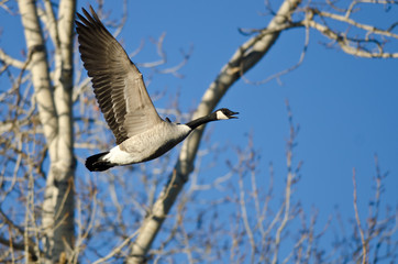 Canada Goose Calling Out White Flying Past the Winter Trees