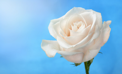 White rose under blue sky background