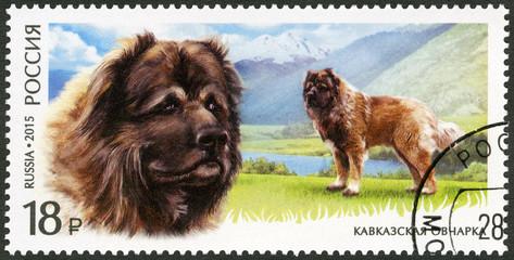 RUSSIA - 2015: Caucasian Shepherd Dog, series breeds of dogs