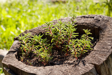 Plants that grow in the stump