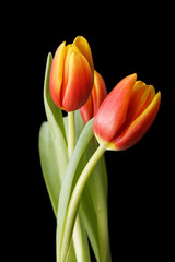 Red-yellow tulip flowers isolated on black background