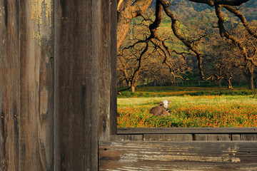 A rural country scene of a cow resting in a meadow of orange flowers and green grasses framed through an old rustic barn.