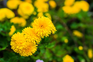 yellow chrysanthemums in the garden