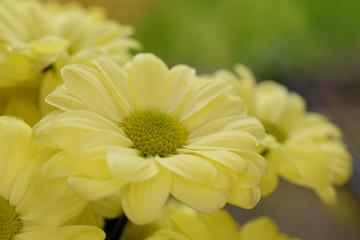 Chrysanthemums, Mums, Chrysanths