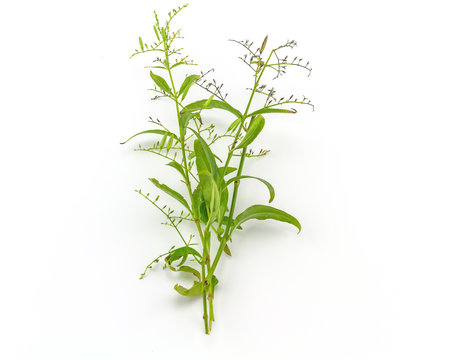 Fresh of Andrographis paniculata plant on white background use for herbal
