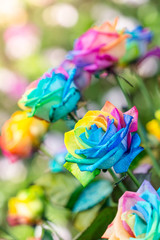 Colorful of rainbow roses flower. Macro of rainbow roses with mu