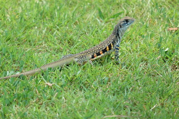 Butterfly lizard, Small-scaled lizard, Ground lizard