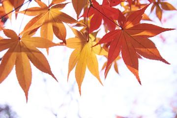 楓の葉 紅葉