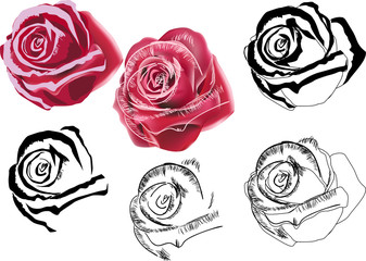 six styles of rose isolated on white