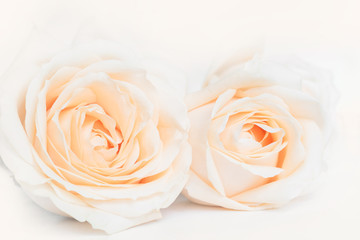 Soft full blown delicate roses as a neitral background. Selective focus.