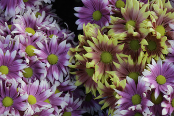 Flower Chrysanthemum
