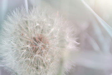 Dandelion close up. Spring light floral background