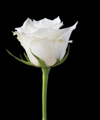 White rose flower on a black background