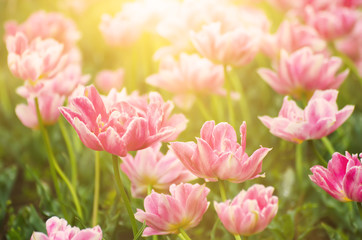 Pink beautiful tulips field in spring time, floral easter sunny background