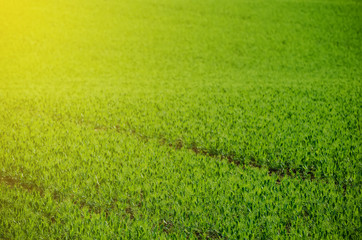 Green grass pea fields  suitable for backgrounds or wallpapers, natural seasonal landscape.