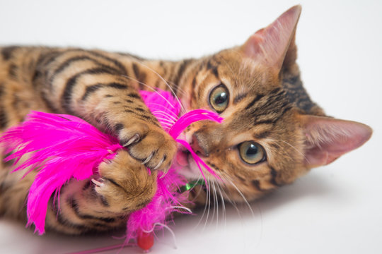 Bengal cat playing with pink toy on white background