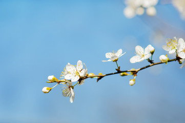 spring white tree flowers, bloosom