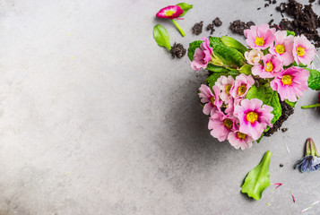 Pink primula flower for gardening or potting on gray stone background, top view, place for text