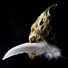 Piranha Skull with Feather