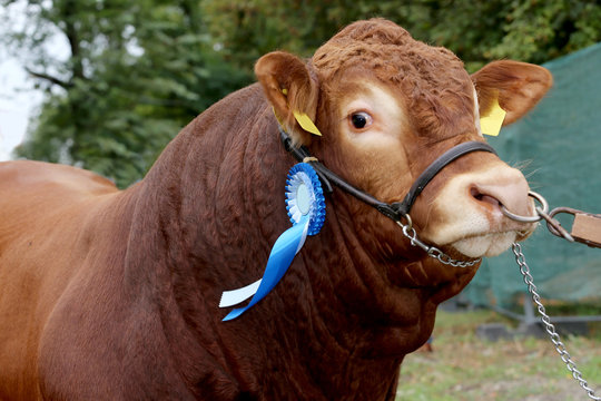 Close-up of a very nice young award winner cow