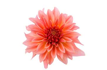 beautiful dahlia isolated close-up