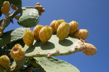 Detail of prickly pears