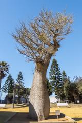 Chorisia Speciosa tree, Genoves Park, Cadiz, Andalusia, Spain