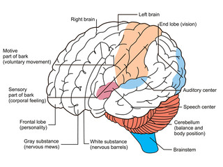 Brain sections diagram