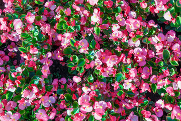 Spring pink flowers grow in the garden. Can be used as background