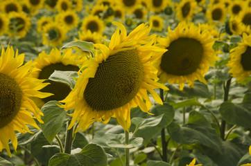 Beautiful sunflowers before the sunset