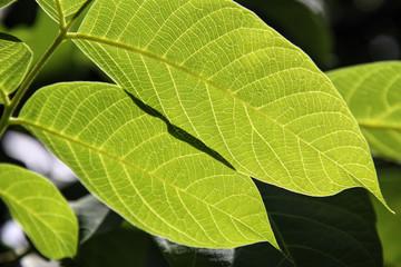 leaf of walnut tree
