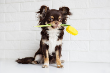 brown chihuahua dog holding a yellow tulip in mouth
