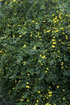 Yellow jasmine bush