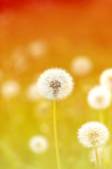 spring macro one dandelion