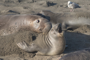 Northern Elephant Seal Bull and Cow at Piedras Blancas Elephant Seal Rookery, California