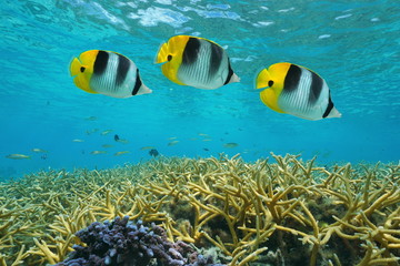 Tropical fish double-saddle butterflyfish over staghorn coral, underwater in the lagoon, Pacific ocean, Huahine, French Polynesia