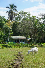 A typical house in Costa Rica with a horse in pasture in foreground, Puerto Viejo de Talamanca, Central America