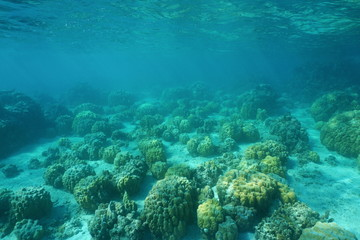 Underwater landscape of a shallow ocean floor with blocks of lobe corals, Huahine island, Pacific ocean, French Polynesia