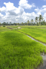 Papiers peints Vert chaux Agriculture paddy hill with cloudy skies