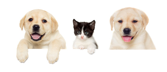 kitten and puppy Labrador peeps