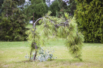 Landscape design. Formation of germ pines