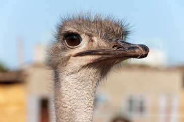 Head of an ostrich