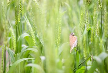 close up of  bird  in  wheat field