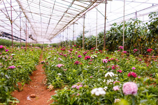 Planting flowers in the greenhouse at Dalat city, Lam Dong province, plateau of Viet Nam, SouthEast Asia