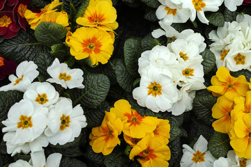 Primrose.Primula vulgaris flower plant in a garden shop.
