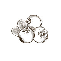 Bilberry in vintage style. Line art vector illustration